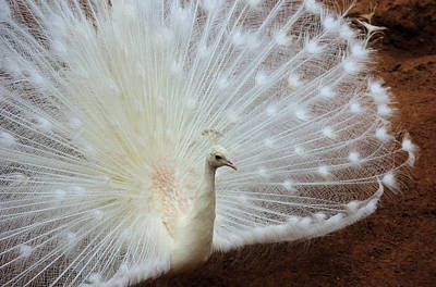 Photograph - Albino Peacock by Cheryl Hall