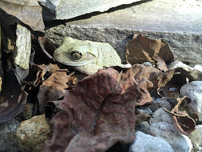 Photograph - Albino Tree Frog by Aimee L Maher ALM GALLERY