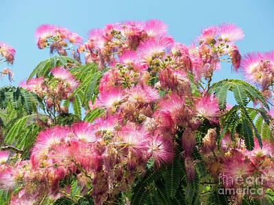 Photograph - Albizia Blossom by Rod Jones