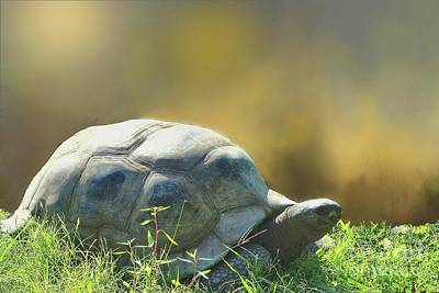 Photograph - Aldabra Giant Tortoise  by Janette Boyd
