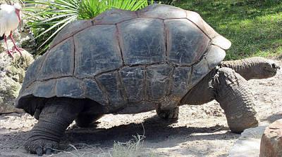 Photograph - Aldabra Tortoise by Elyza Rodriguez