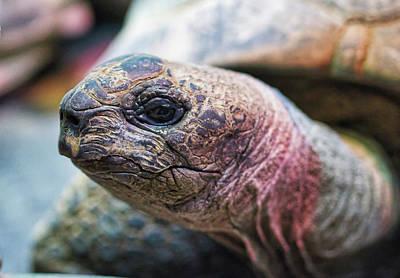 Photograph - Aldabra Tortoise - Madison Zoo by Steven Ralser