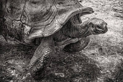 Photograph - Aldabra Tortoise  by Sandra Selle Rodriguez