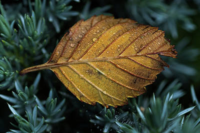 Photograph - Alder Leaf by Robert Potts
