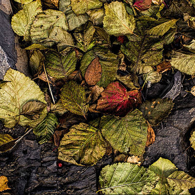 Photograph - Alder Leaves Dan Creek 2015 by Fred Denner