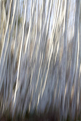 Photograph - Alder Trees Abstract by Peggy Collins