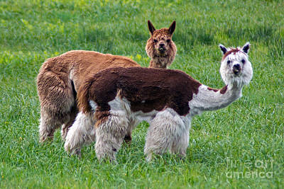 Photograph - Alert Alpacas by Kevin Fortier