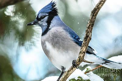 Photograph - Alert Bluejay by Cheryl Baxter
