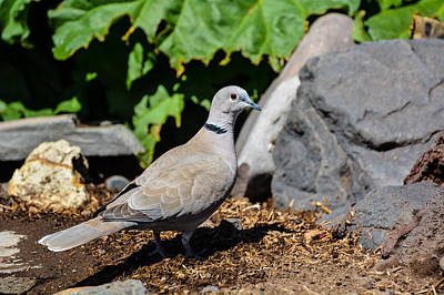 Photograph - Alert Dove by Linda Larson