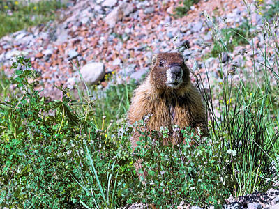 Photograph - Alert Marmot. by Kent Nancollas