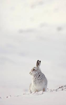 Photograph - Alert Mountain Hare by Peter Walkden