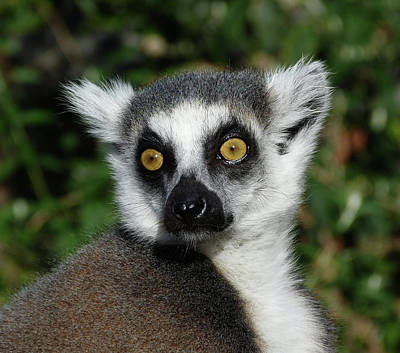 Photograph - Alert Ring-tailed Lemur by Margaret Saheed
