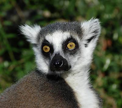 Photograph - Alert Ring-tailed Lemur by Margaret Saheed
