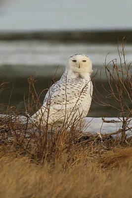 Photograph - Alert Snowy Owl by Allan Morrison