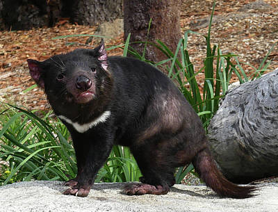 Photograph - Alert Tasmanian Devil by Margaret Saheed