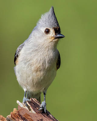 Photograph - Alert Tufted Titmouse by Jerry Fornarotto