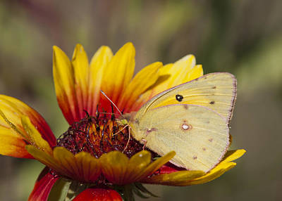 Photograph - Alfalfa Butterfly On Blanketflower by Robert Potts