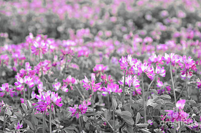 Photograph - Alfalfa Flowers by Delphimages Photo Creations