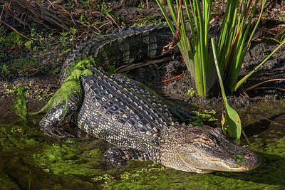 Photograph - Algae Gator by Arthur Dodd