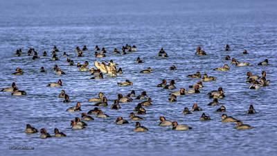 Photograph - Algonac Redhead Ducks by LeeAnn McLaneGoetz McLaneGoetzStudioLLCcom