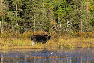 Photograph - Algonquin Bull Moose 2 by Gary Hall