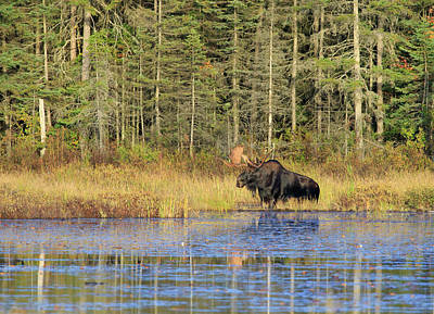 Photograph - Algonquin Bull Moose by Gary Hall