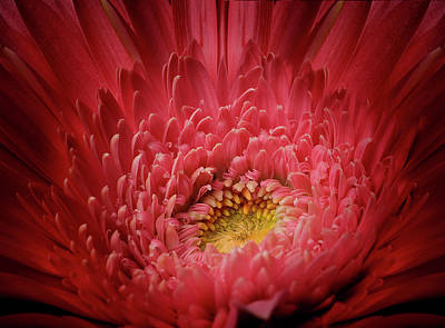 Photograph - Red Gerber Daisy by Al Hurley
