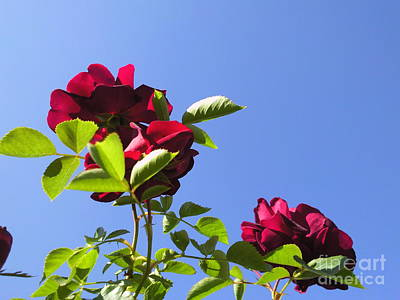 All About Roses And Blue Skies V Art Print by Daniel Henning