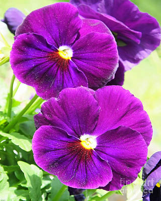 Photograph - All About The Purple Pansies by Lizi Beard-Ward