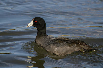 Photograph - All American Coot by Yeates Photography