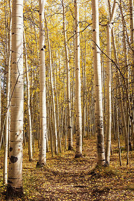 Photograph - All Aspen 2 by Marilyn Hunt