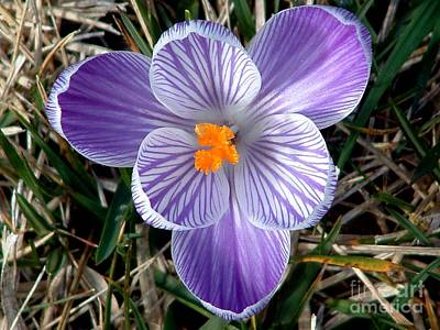 Crocus Photograph - All By Myself by Chere Lei