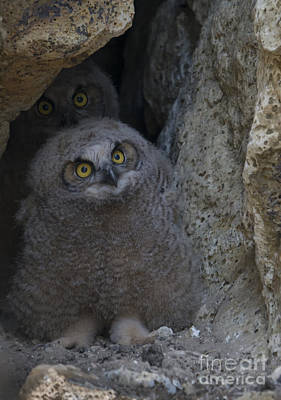 Owlets Photograph - All Eyes by Mike Dawson