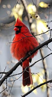 Cardinal Photograph - All Fluff by Jennifer Robin