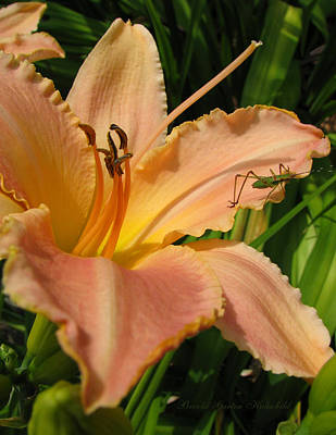 Daylily In Nature Photograph - All In A Days Work by Brooks Garten Hauschild