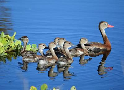 Photograph - All In The Family - Black Bellied Whistling Duck by rd Erickson