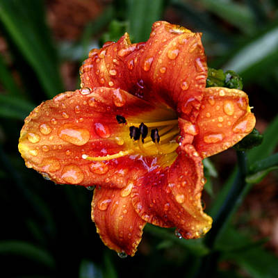 All Wet Lily Art Print by Paul Anderson
