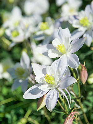 Photograph - All White Columbines by Aaron Spong