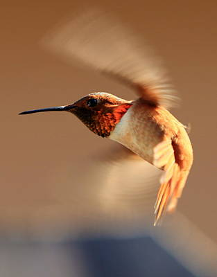 Photograph - Anna's Hummer - #2 by Ron Romanosky