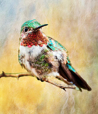 Photograph - Allen's Hummingbird by Barbara Manis