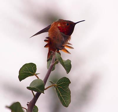 Photograph - Allen's Hummingbird II by Robin Street-Morris