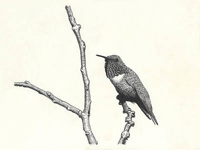 Drawing - Allen's Hummingbird by Marcus England