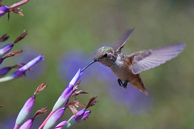 Mcherdering Photograph - Allen's Hummingbird by Mike Herdering