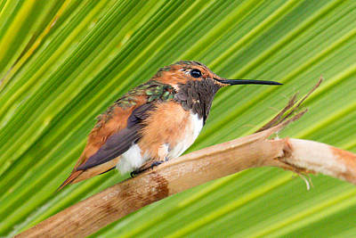 Photograph - Allen's Hummingbird On Palm Tree by Phil Stone