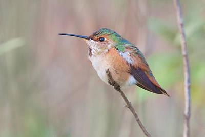 Photograph - Allen's Hummingbird by Ram Vasudev
