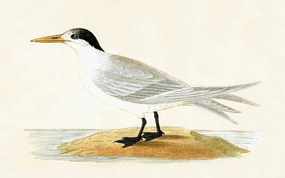 Sea Birds Painting - Allied Tern by English School