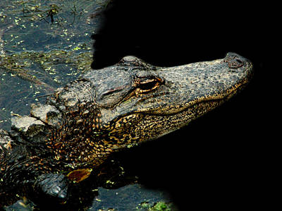 Photograph - Alligator 6 by David Weeks