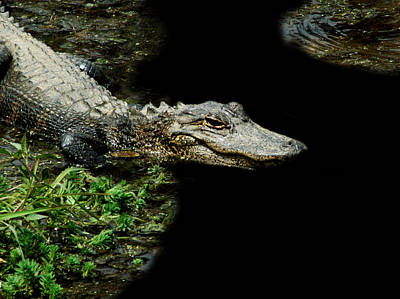 Photograph - Alligator 7 by David Weeks