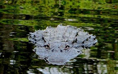 Photograph - Alligator Approaching by Rita Mueller