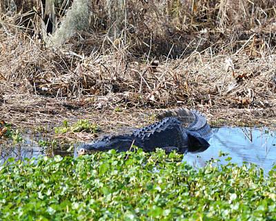 Photograph - Alligator At Alligator Lake by rd Erickson